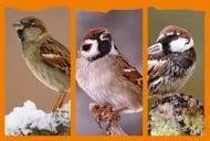 Световен ден на врабчето - 20 март е повод да си напомним, че врабчетата в България намаляват