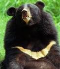 Защо хималайските мечки се наричат