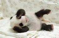 Зоопарк в Тайван показа първите снимки на най-сладката новородена пандичка