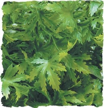 Терариумно растение Zoo-Med - коноп
