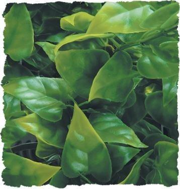 Терариумно растение Zoo-Med - мексиканска лиана