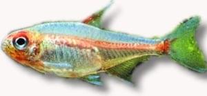 Hemigrammus erythrozonus 2.5 - 3.5см