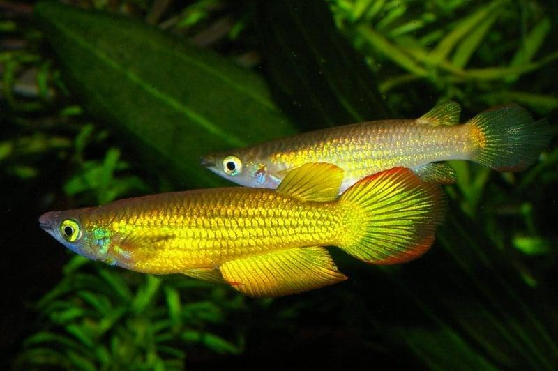 Aplocheilus lineatus(Аплохелиус линеатус)  4 - 5см