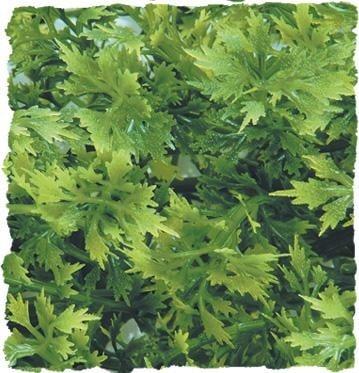 Терариумно растение Zoo-Med - австралийски клен