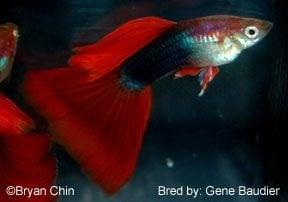 Гупа half black red 3-4см