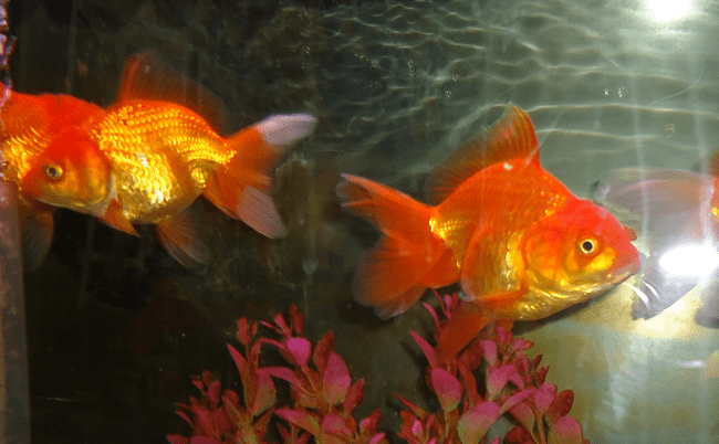 Оранда Златна рибка /максимален размер/