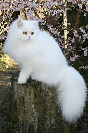 Дългокосмести породи котки