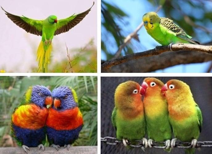 Декоративни птици