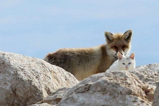 Домашна котка и лисица заедно в дивата природа като истински приятели