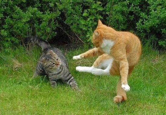 Епичната битка за надмощие между два котарака