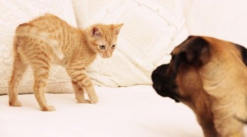 Как да представите котката - новия член на семейството, на останалите домашни любимци у дома?