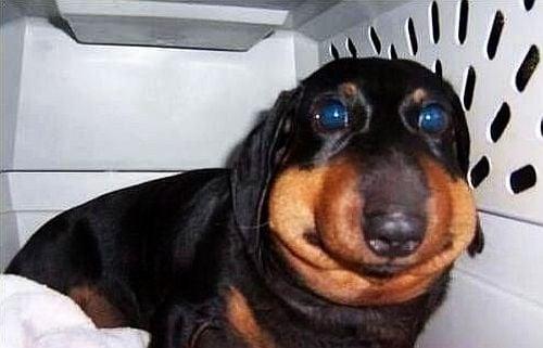Как кучетата получават оток от ужилване на пчела или оса? (снимки)