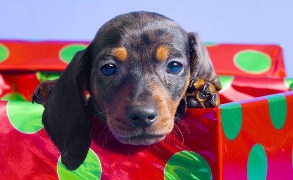 Какво трябва да знаем, преди да вземем домашен любимец за подарък?