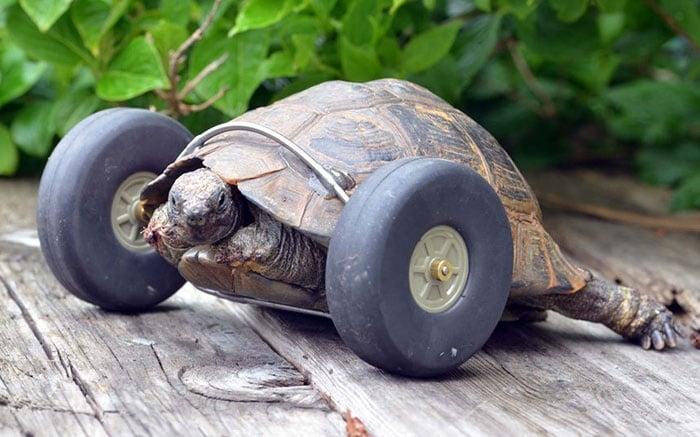 Шанс за по - пълноценен живот получи 90-годишна костенурка, останала без крайници