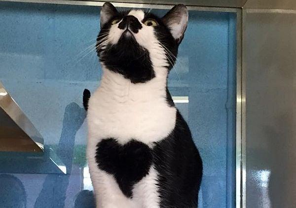 Коте с истинско сърце на гърдите прекарва целия си живот в приют