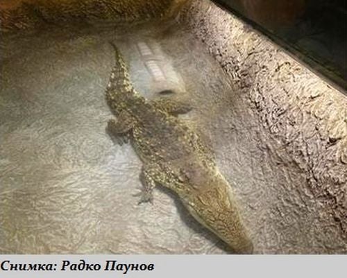 Най - големият и опасен крокодил в света ще можем да виждаме на живо в Пловдив
