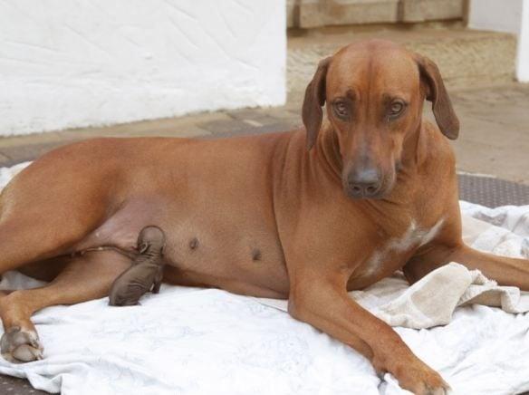 Куче със силен майчински инстинкт осиновява и кърми изоставено прасенце