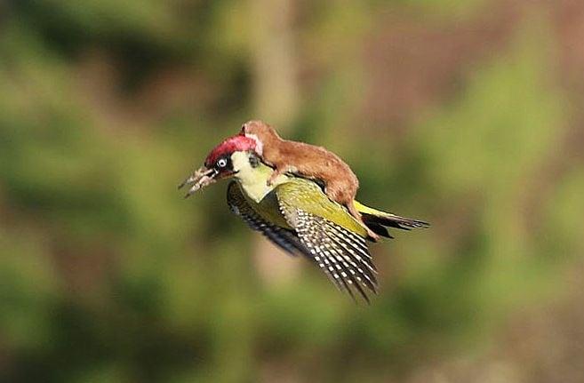 Кълвач лети с невестулка на крилете си - уникална снимка!