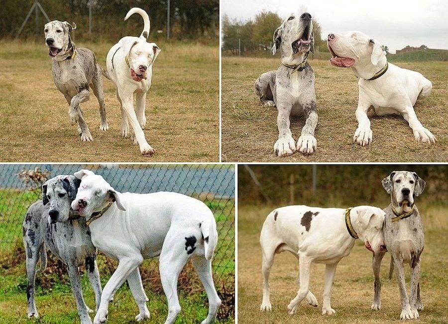 Лили и Медисън - трогателна двойка от сляпо куче и нейния виждащ другар