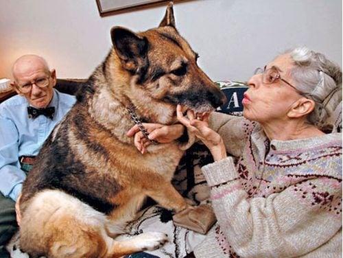 Немска овчарка спасява възрастна двойка по най - героичния начин