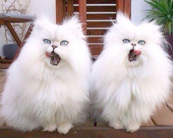 Невероятни котки като две капки вода