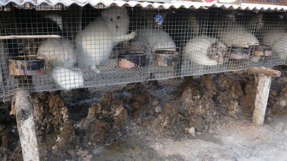 Правителството на Норвегия реши да се закрият всички ферми, отглеждащи животни за кожи
