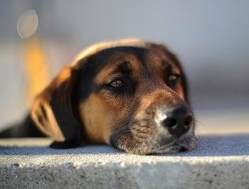 Оток на глотиса при кучето