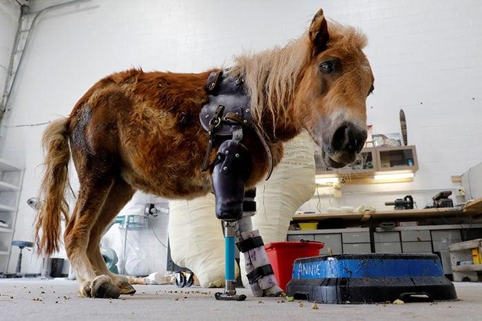 Едно доказателство за човешка доброта - пони се изправя за пръв път, благодарение на специални протези