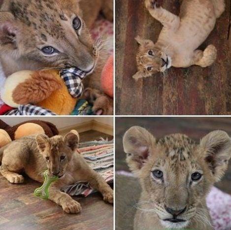 ИЗВЪНРЕДНА НОВИНА: Общинския съвет в Разград гласува съдбата на лъвчетата Масуд и Терез