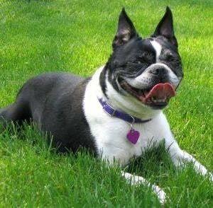 Сърдечна слабост при кучето