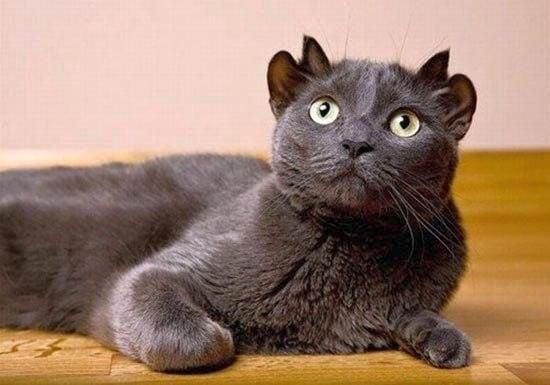 В Англия живее котка с четири уши
