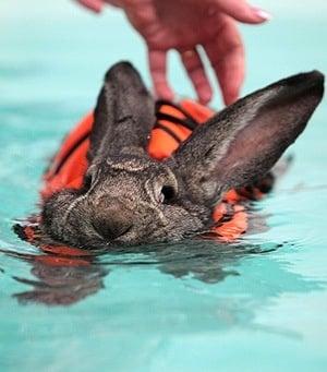 Заек лекува артрита си с плуване