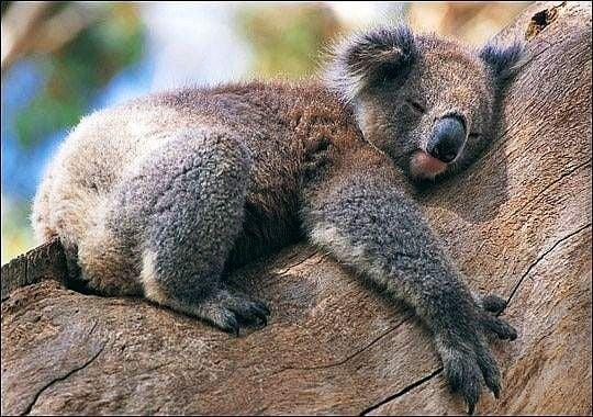 Защо коалата прегръща дърветата?