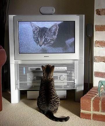 Защо котките обичат да гледат телевизия?