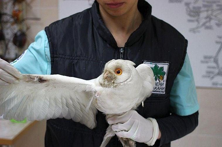 Зелени балкани спасиха уникална бяла сова, символ на надеждата за по - добро бъдеще