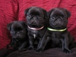 Продавам малки кучета порода Мопс с родословие