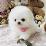 Померански кученца