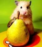 Хамстер яде круша