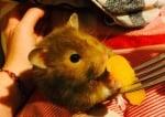Хамстер яде праскова
