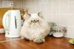 Опасности за котката