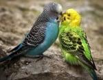 Размножаване при вълнистите папагали