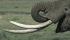 Бивни на Африкански слон