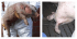 Клинични признаци при Канибализъм при свинете